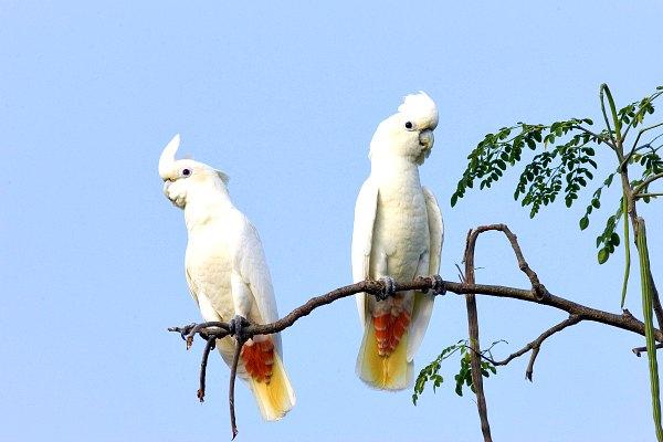 Philippine-Cockatoo palawan